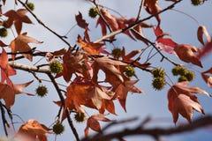 Das Detail des Holzes und der Blätter und der Frucht der Platane, Platanus acerifolia Lizenzfreie Stockfotos