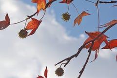 Das Detail des Holzes und der Blätter und der Frucht der Platane, Platanus acerifolia stockbild