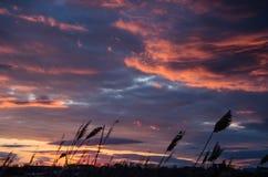 Das dunkle Schattenbild von Schilfen bei Sonnenuntergang Lizenzfreie Stockfotografie