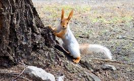 Das Eichhörnchen Lizenzfreies Stockbild
