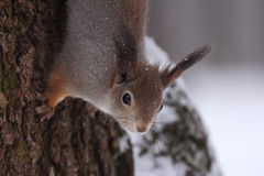 Das Eichhörnchen. Lizenzfreies Stockfoto