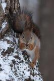 Das Eichhörnchen. Lizenzfreie Stockbilder