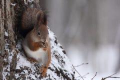 Das Eichhörnchen. Stockbild