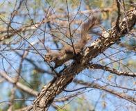 Das Eichhörnchen Stockfotografie