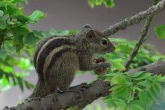 Das Eichhörnchen Stockfotos