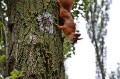 Das Eichhörnchen Lizenzfreies Stockfoto