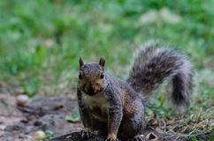 Das Eichhörnchen Stockbilder