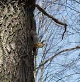 Das Eichhörnchen lizenzfreie stockfotografie