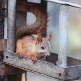 Das Eichhörnchen auf dem Baum Stockfoto