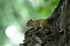 Das Eichhörnchen auf dem Baum Stockbilder