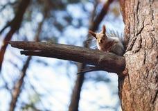 Das Eichhörnchen auf dem Baum Stockfotografie