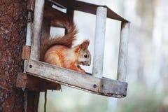 Das Eichhörnchen auf dem Baum Stockbild