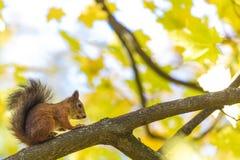 Das Eichhörnchen, das auf der Niederlassung eines Baums im Park oder im Wald am warmen und sonnigen Herbsttag sitzt stockfotografie