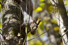 Das Eichhörnchen auf einem Baum, der die Frucht der Walnuss in hält Lizenzfreie Stockfotos