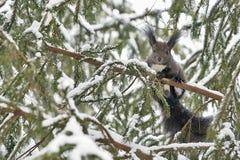 Das Eichhörnchen auf einer Niederlassung stockfoto