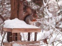 Das Eichhörnchen auf einer Speicherungabflußrinne stockbild