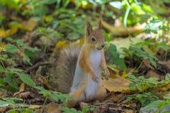 Das Eichhörnchen aufgrund von dem Herbstpark oder dem Wald am warmen sonnigen Tag unter dem Gras und den gelben gefallenen Blätte stockfotografie