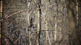 Das Eichhörnchen, das auf Baumanzeige von einem Baumstamm zu anderen folglich Kamera springt, ist