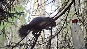Das Eichhörnchen im Holz isst vom Futtertrog, der von einer Plastikflasche hergestellt wird stock video