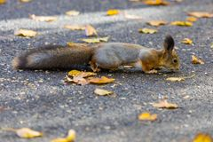 Das Eichhörnchen, das im Park sucht nach Lebensmittel während des sonnigen Herbsttages spielt stockbild