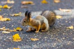 Das Eichhörnchen, das im Park sucht nach Lebensmittel während des sonnigen Herbsttages spielt lizenzfreie stockfotos