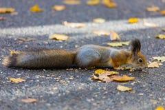 Das Eichhörnchen, das im Park sucht nach Lebensmittel während des sonnigen Herbsttages spielt lizenzfreie stockbilder