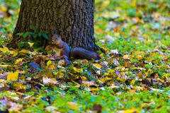 Das Eichhörnchen, das im Park sucht nach Lebensmittel während des sonnigen Herbsttages spielt stockfoto