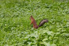 Das Eichhörnchen isst die Nüsse Stockbilder