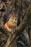 Das Eichhörnchen mit einer Eichel. Lizenzfreie Stockfotos