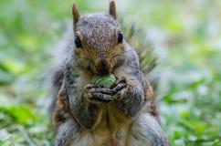 Das Eichhörnchen mit seiner Nuss Lizenzfreies Stockbild