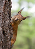 Das Eichhörnchen schaut heraus wegen eines Baumkabels Stockfotos