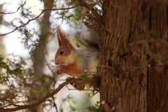 Das Eichhörnchen sitzt auf einem Baum und zerfrisst Nüsse Neugier, trustKislovodsk, Russland Stockfotos