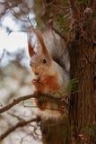 Das Eichhörnchen sitzt auf einem Baum und zerfrisst Nüsse Neugier, Vertrauen Kislovodsk, Russland Lizenzfreie Stockfotografie
