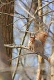 Das Eichhörnchen sitzt in einem Baum Lizenzfreie Stockbilder