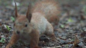 Das Eichhörnchen, das in Zeitlupe nah an Kamera gelaufen wird und schaut auf ihr extrem nah oben stock video