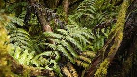 Das einzigartige Reliktlorbeerholz, in dem Dinosaurier lebten stock footage
