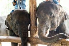 Das Elefantschongebiet der Show Stockfoto