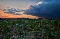 Das Ende des Tages auf dem Mohnblumenfeld Lizenzfreies Stockbild
