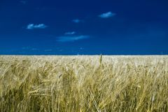 Das endlose Weizenfeld lizenzfreie stockbilder