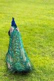 Das Endstück des bunten gefalteten Pfaus im Hintergrund des grünen Grases Lizenzfreie Stockfotos