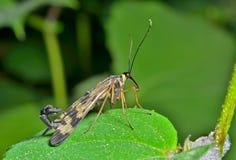 Das Endstück 14 des Insekten-Skorpions Lizenzfreie Stockfotografie