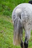 Das Endstück eines Rennpferds mit einem Zopf lizenzfreie stockfotos