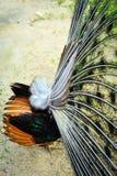 Das Endstück und die Flügel des männlichen Pfaus Stockfotos