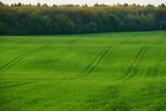 Das enorme Feld des grünen Weizens Stockfoto