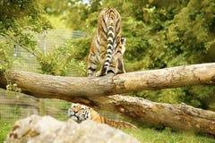 Das erstaunlich schöne Amur-Tigerspielen Lizenzfreie Stockfotos