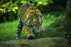 Das erstaunlich schöne Amur-Tigerspielen Stockfotografie