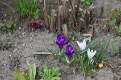Das erste blüht im Frühjahr Garten Stockbild
