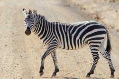 Das Erwachsenzebra kreuzt die Straße in der Savanne Stockfotos