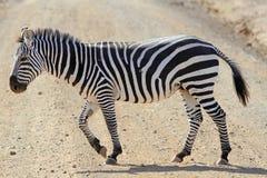 Das Erwachsenzebra kreuzt die Straße in der Savanne Lizenzfreie Stockbilder