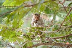 Das Essen des Affen sitzt auf dem Baum Stockfoto